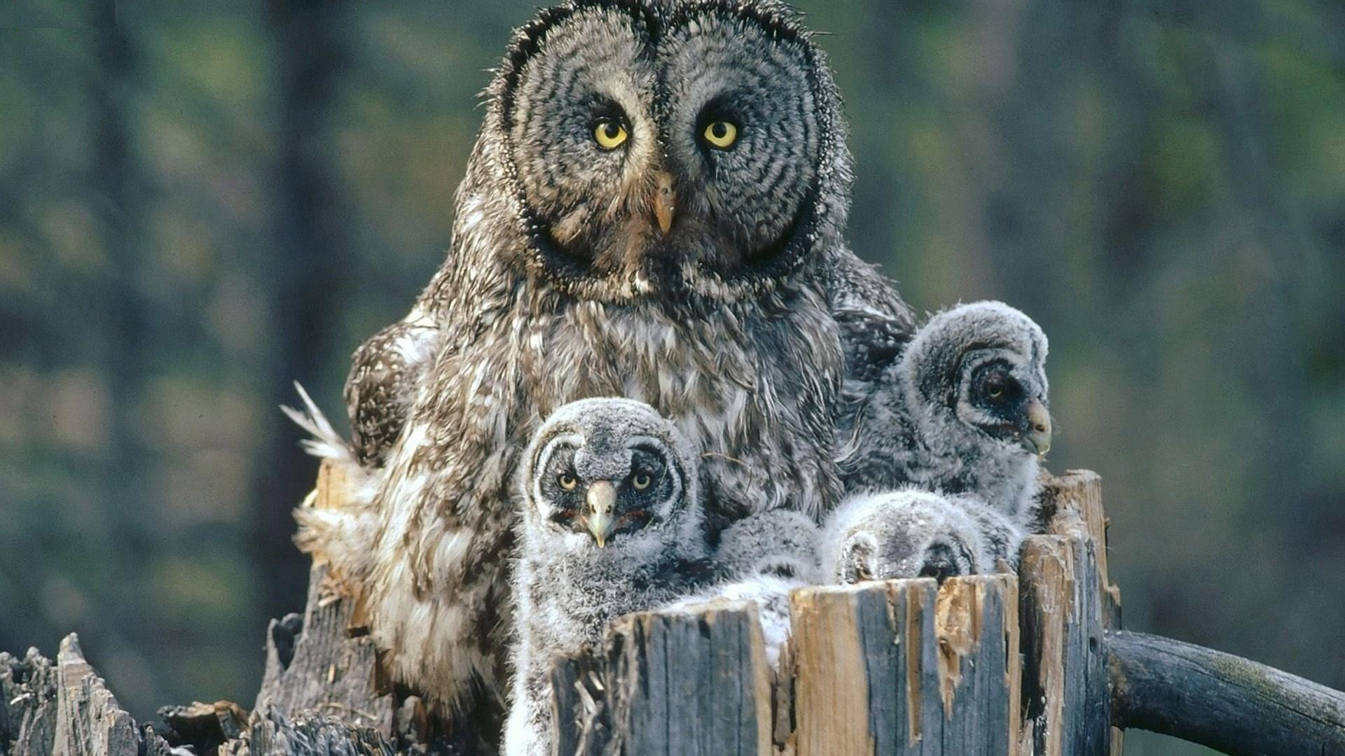 Birds-Family-Owls-Backgrounds-Baby-High-Resolution-Pictures-1920×1080 (1)