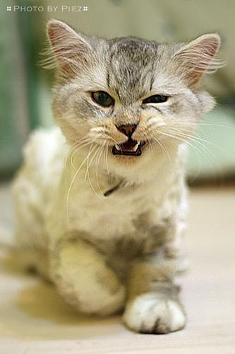 angry-kitten