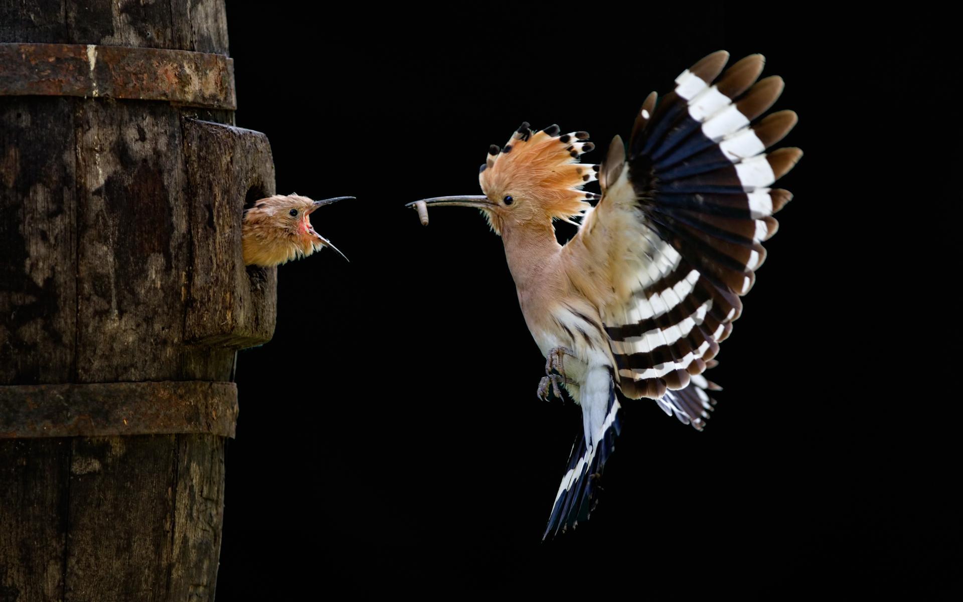 bird_feeding_baby_in_nest