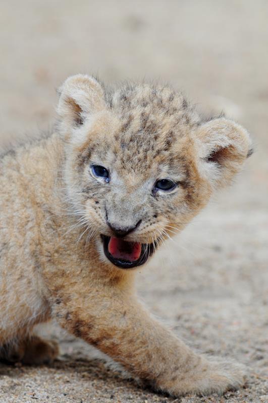 Lion - grr