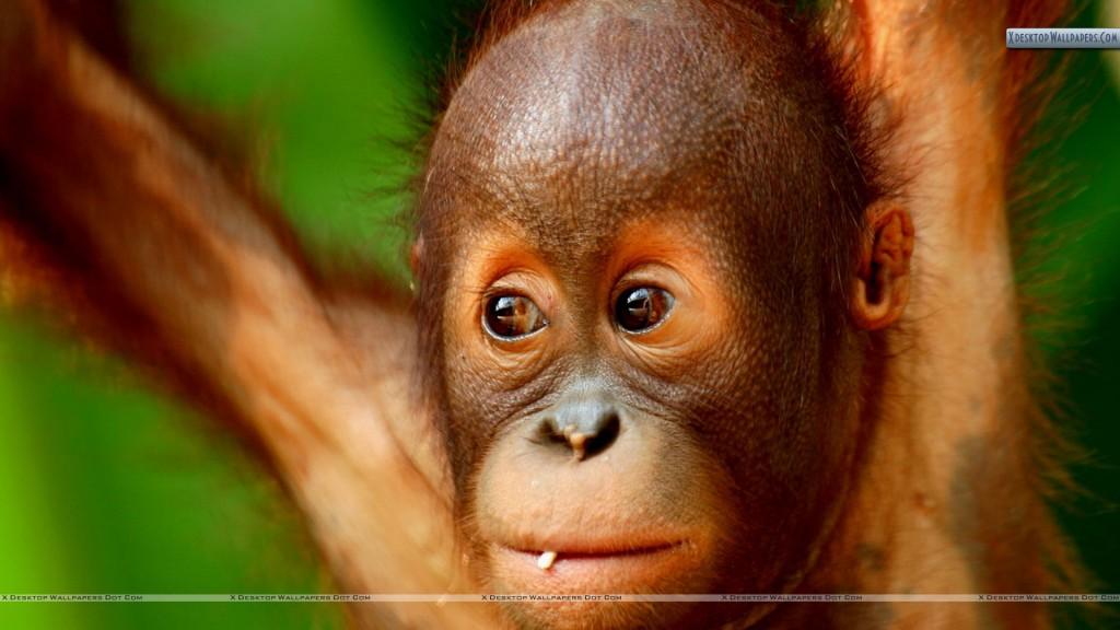 Monkey yiral angry