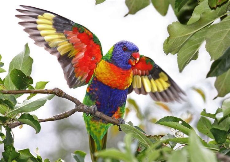 Rainbow-lorikeet