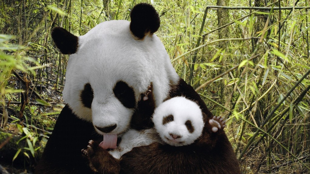 animals-baby-animals-nature-panda-bears-2838716-2560x1440