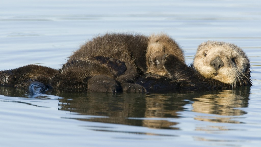 animals_amazing_otter_floating_with_baby_otter-1