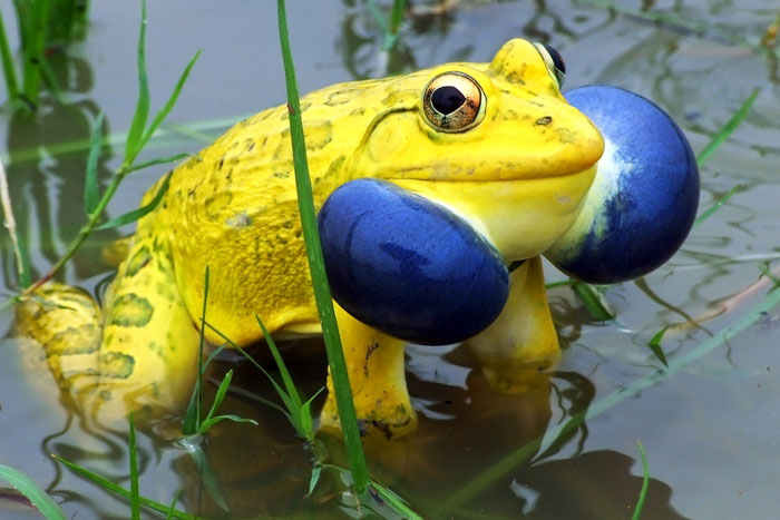 indian-bull-frog