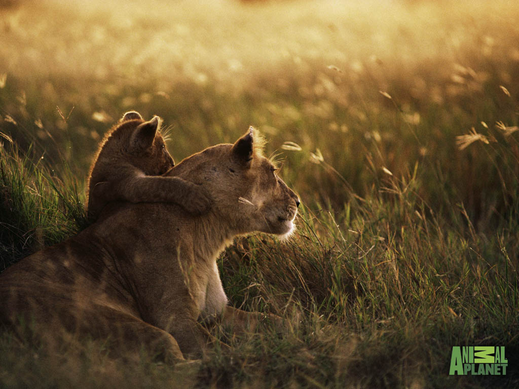 lion_cub_wallpaper 3