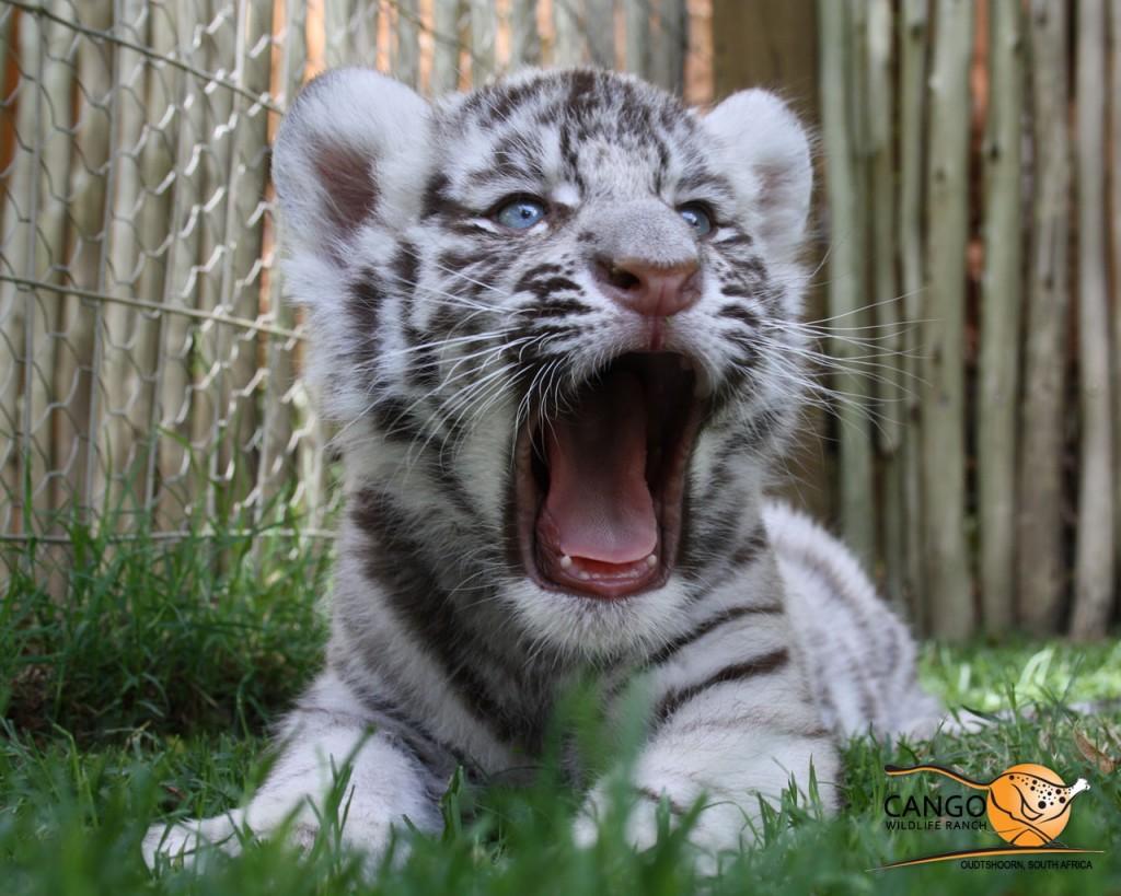 tiger cub grr