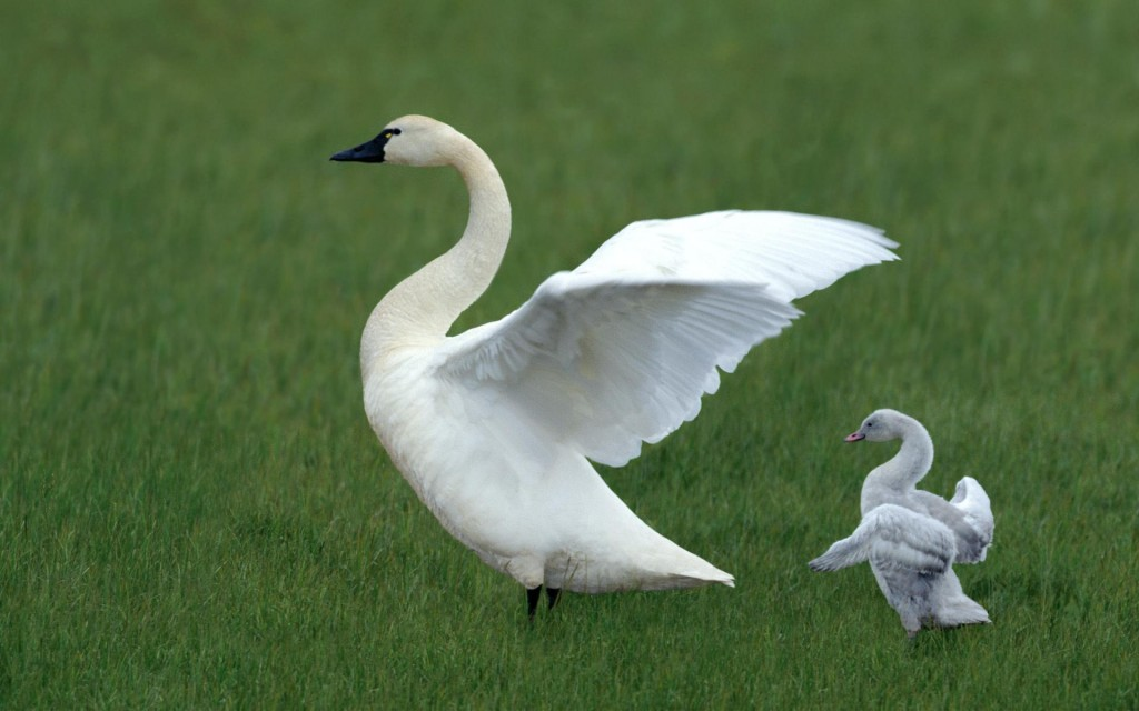 white_swan_and_baby_swan
