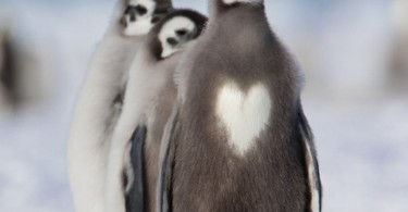 pinguin heart