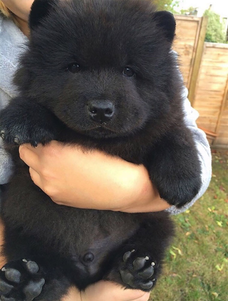 Black Chow Chow Puppy