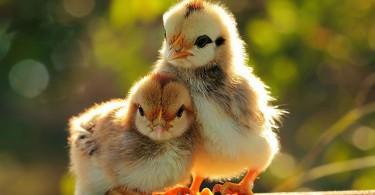 chickens-bird-hd-widescreen-desktop-wallpaper-1024x640